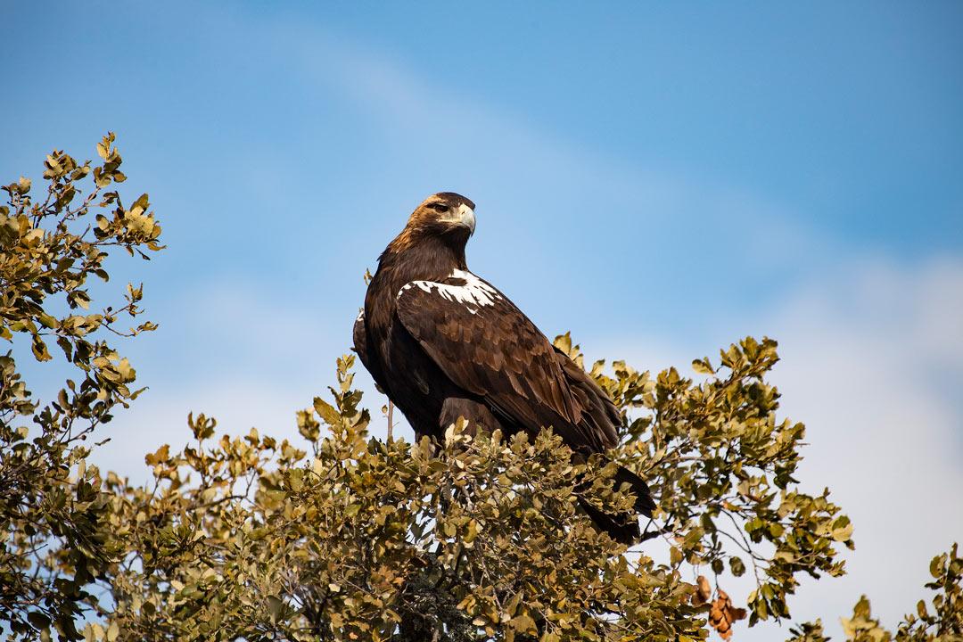 Fauna - Águila Imperial