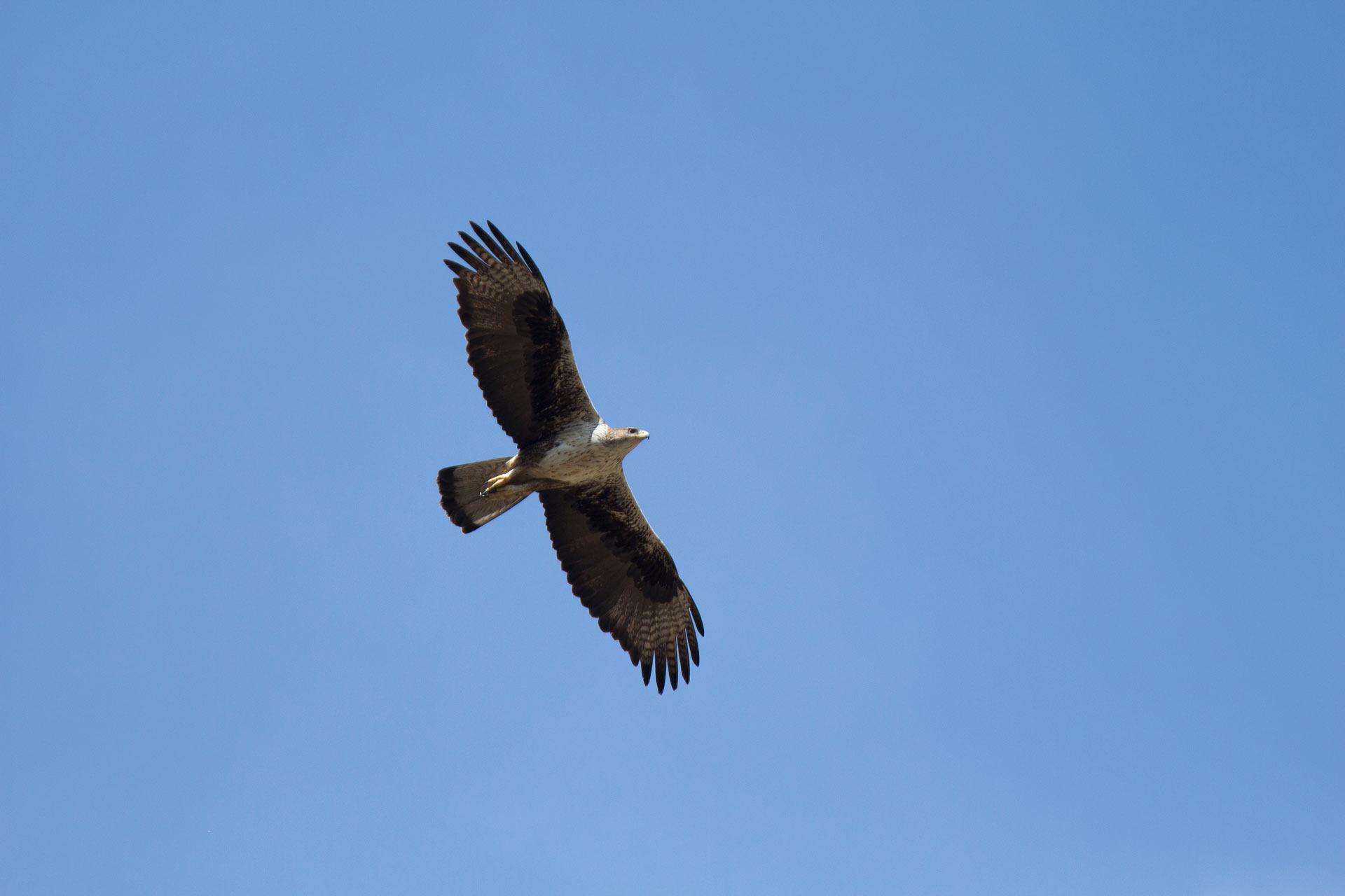 Fauna - Águila perdicera