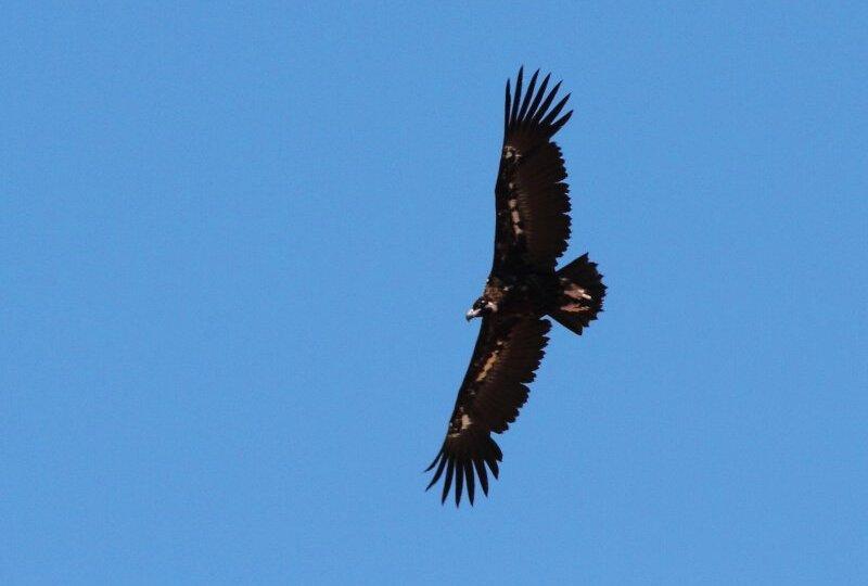Fauna - Buitre Negro en vuelo